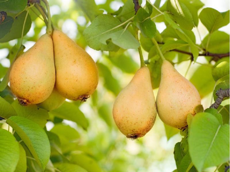 Pear Tree (Image Credit - Google)