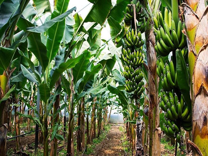 Banana Cultivation (Image Credit -Google)
