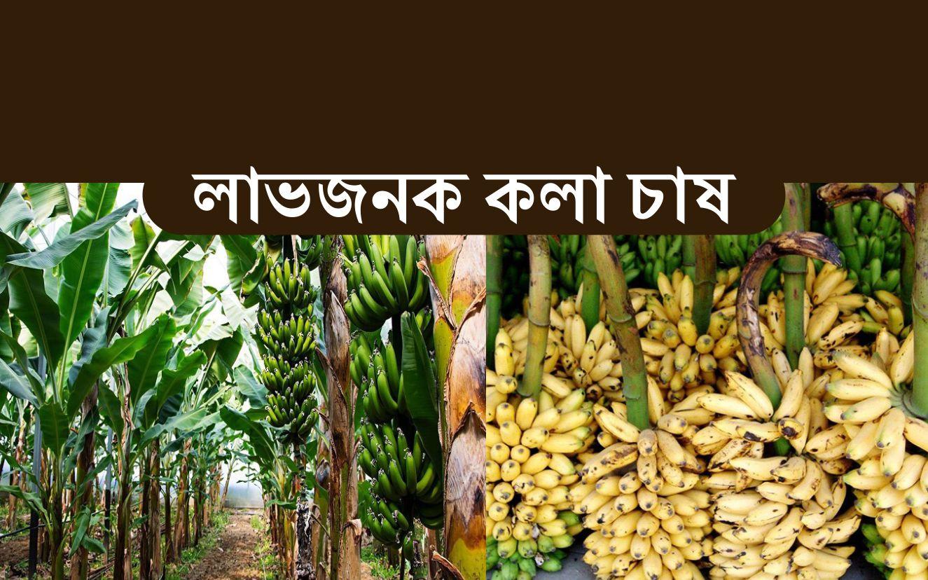 Banana Farming: জেনে নিন আধুনিক উপায়ে কলা চাষের সঠিক পদ্ধতি