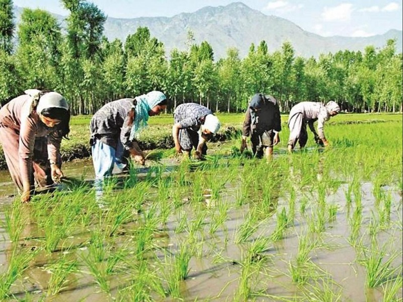 Kharif Crop (Image Credit - Google)