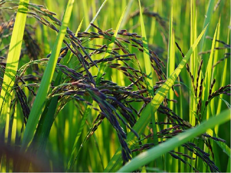 Black Salt Rice (Image Credit - Google)