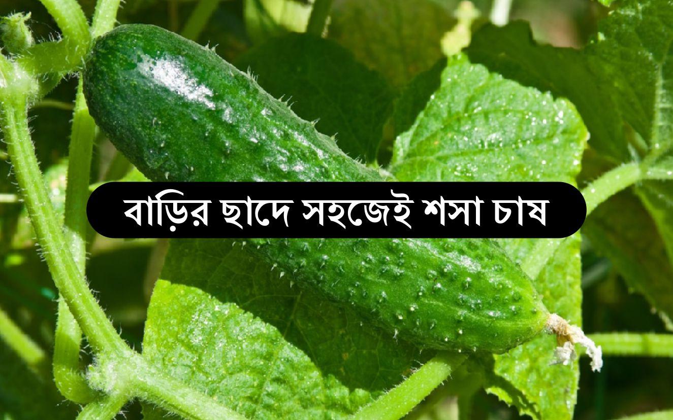 Cucumber Home Farming - বাড়ির ছাদে টবেই চাষ করতে পারেন শসা, কীভাবে করবেন, জেনে নিন খুঁটিনাটি