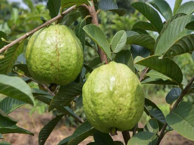 Guava Farming: এই পদ্ধতিতে পেয়ারা চাষে আপনিও লাভ করতে পারেন দ্বিগুন