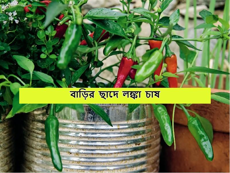 Chili Home Farming - বাড়ির ছাদে লঙ্কা চাষ করে উপার্জন করুন অর্থ