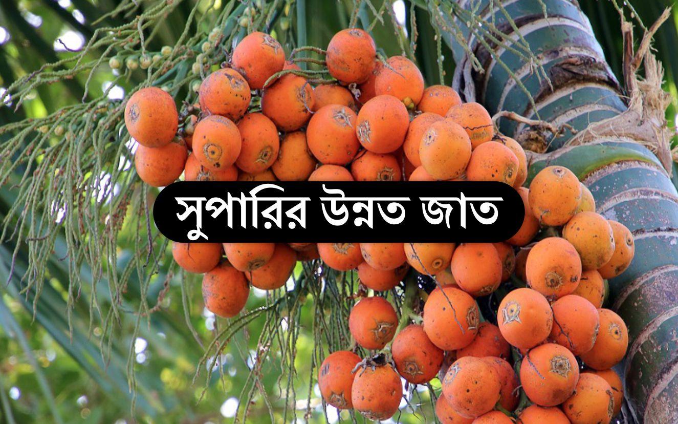 Areca Nut Farming: জেনে নিন বাংলাদেশে কোন জাতের সুপারি গাছ চাষ লাভজনক