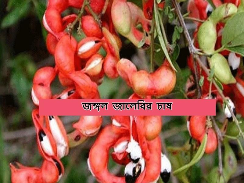 Jangal Jalebi Fruit Farming: জঙ্গল জালেবি বা মিষ্টি তেতুঁলের চাষ পদ্ধতি ও স্বাস্থ্যগুণ