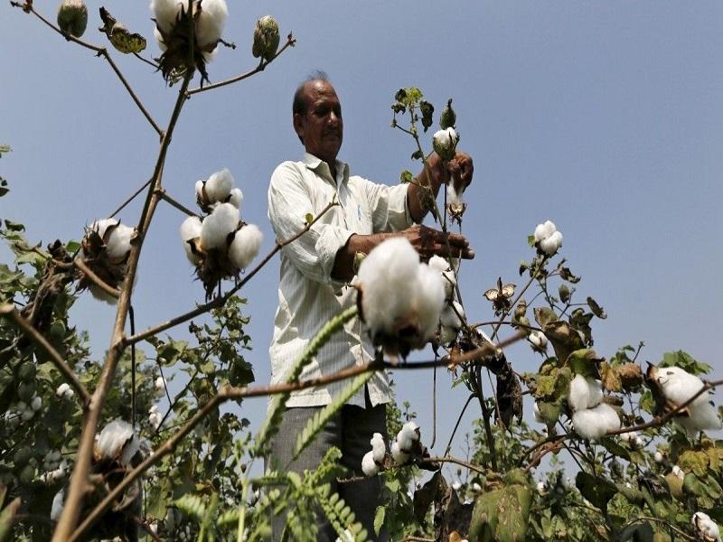 Cotton Farming (image credit- Google)