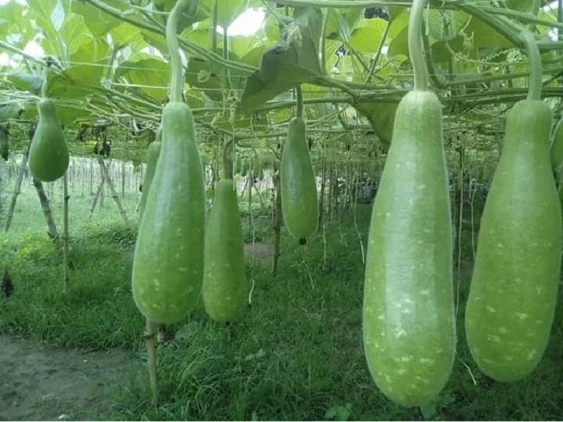 Bottle Gourd (Image Credit - Google)