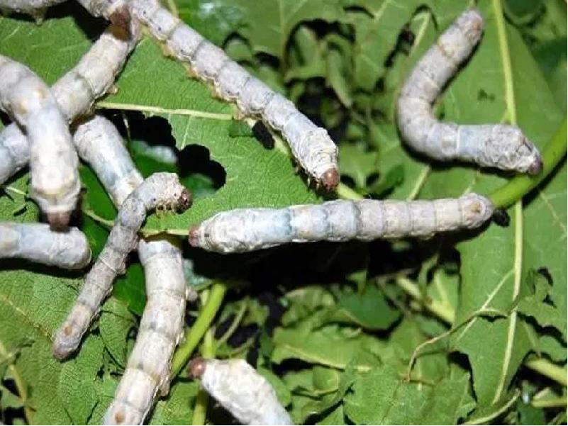 Silk Worm (Image Credit - Google)