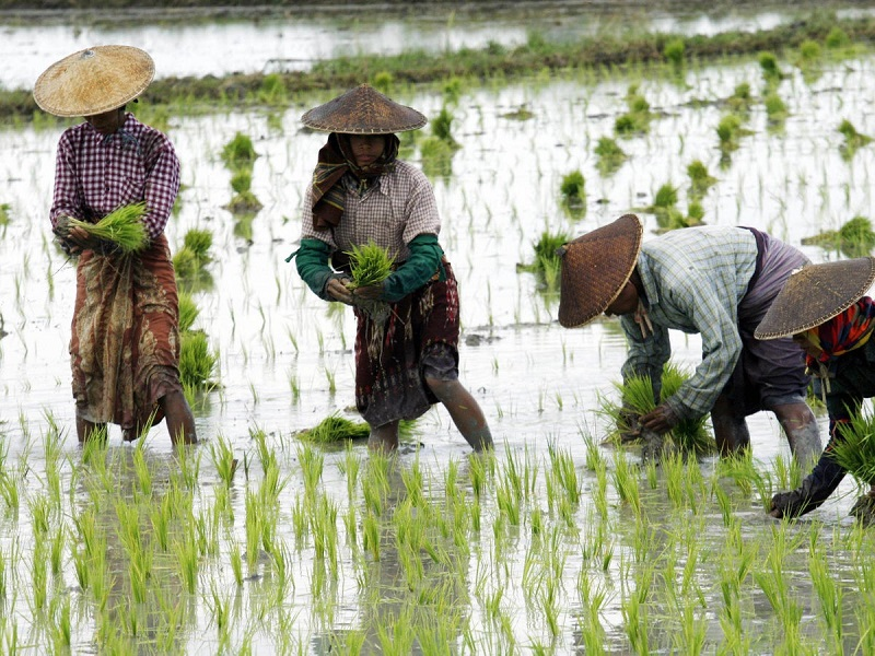 Rice Farming (image credit- Google)