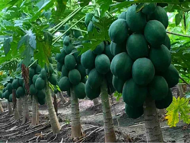 Papaya Tree (Image Credit - Google)