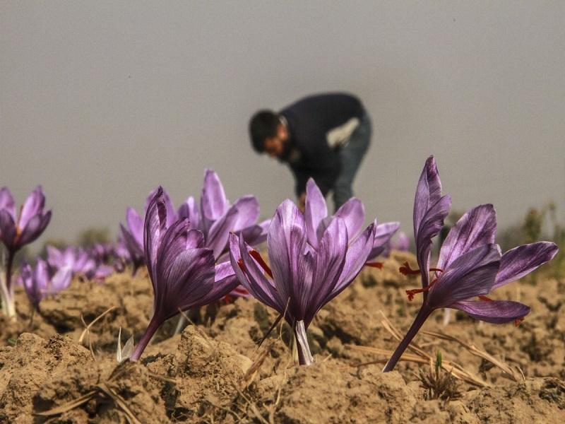 Saffron Farming (image credit- Google)