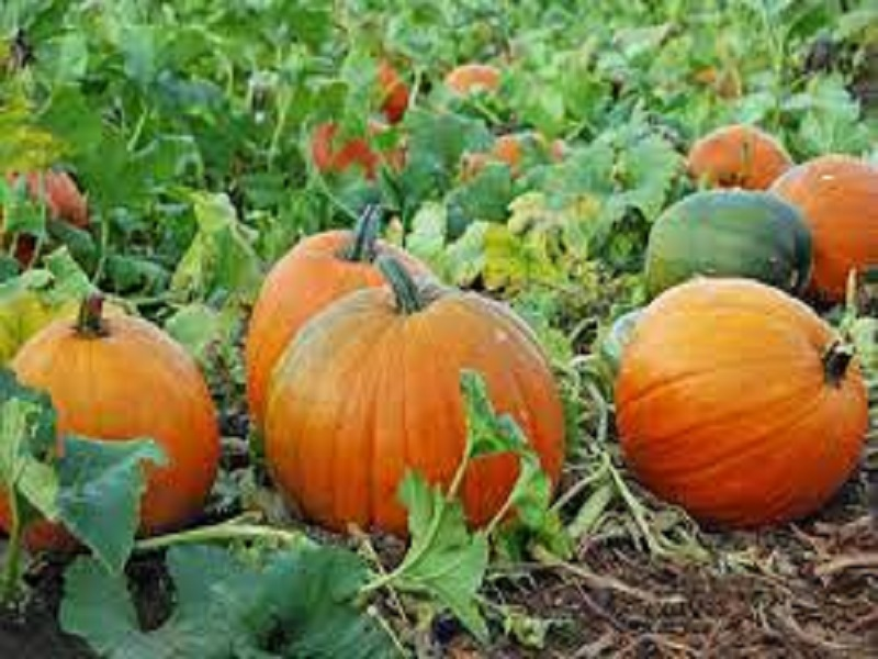 Sweet Pumpkin (image credit-Google)