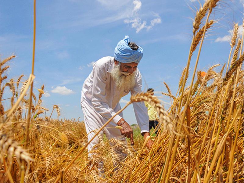 Wheat Farming (image credit- Google)