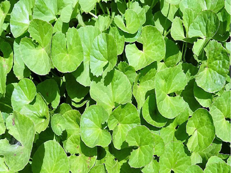 Thankuni Leaves (Image Credit - Google)