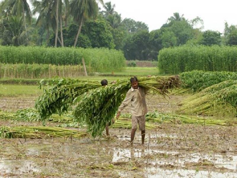 Jute Farmers (Image Credit - Google)