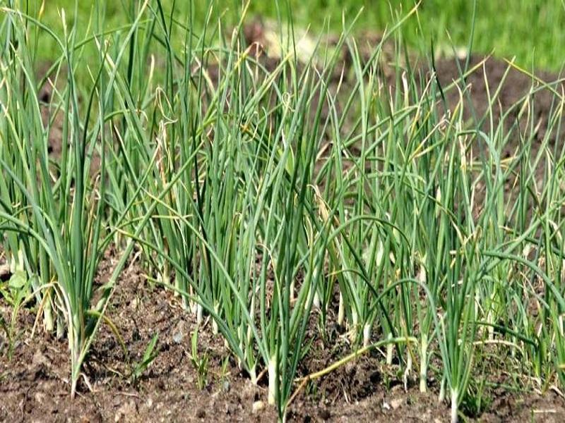 Garlic Cultivation (image credit- Google)