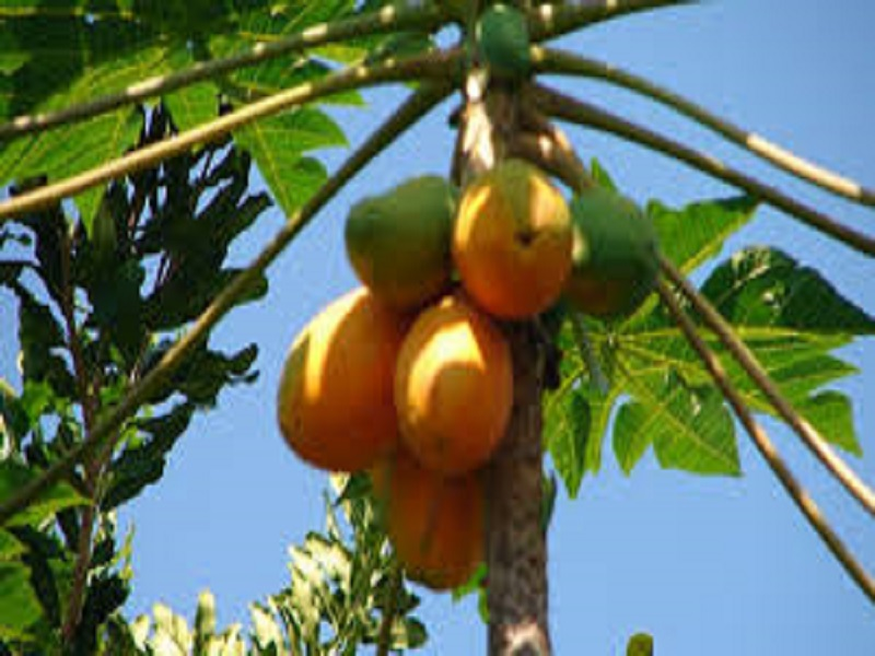Sweet lady papaya (image credit-Google)