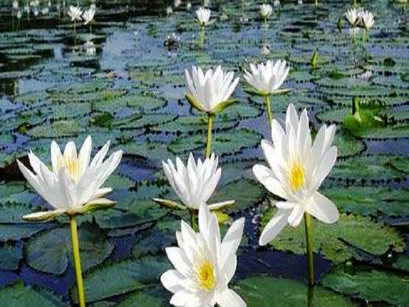 Sapla Cultivation (image credit- Google)