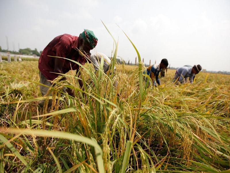Boro Paddy farming (image credit- Google)