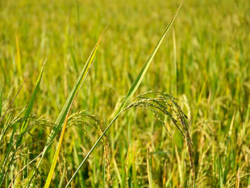 Boro Paddy Cultivation: বোরো উৎপাদনে অভাবনীয় সাফল্য বাংলাদেশের চাষীভাইদের