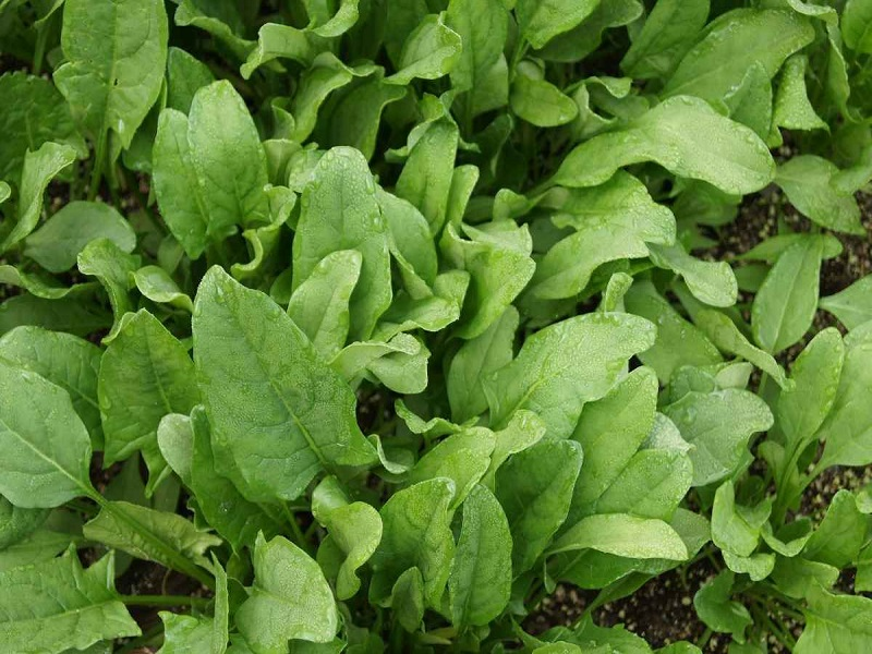 Spinach Farming (image credit- Google)