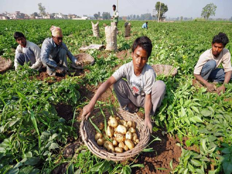 Potato harvesting (Image Credit - Google)