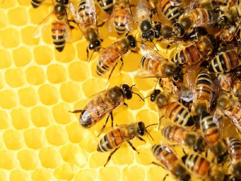 Honeybee (Image Credit - Google)