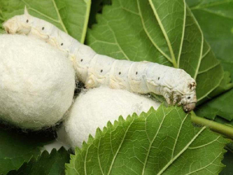 Resham Moth (Image Credit - Google)
