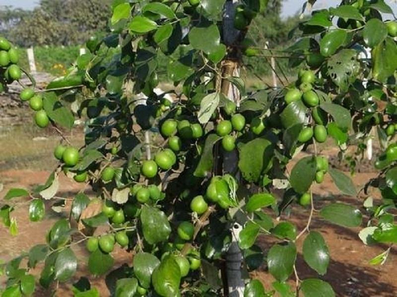 Ber fruit farming (image credit- Google)