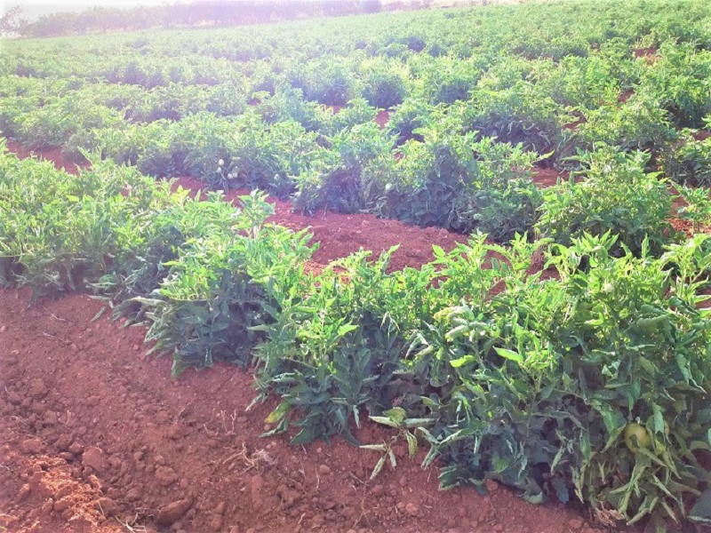 Tomato field (Image Credit - Google)