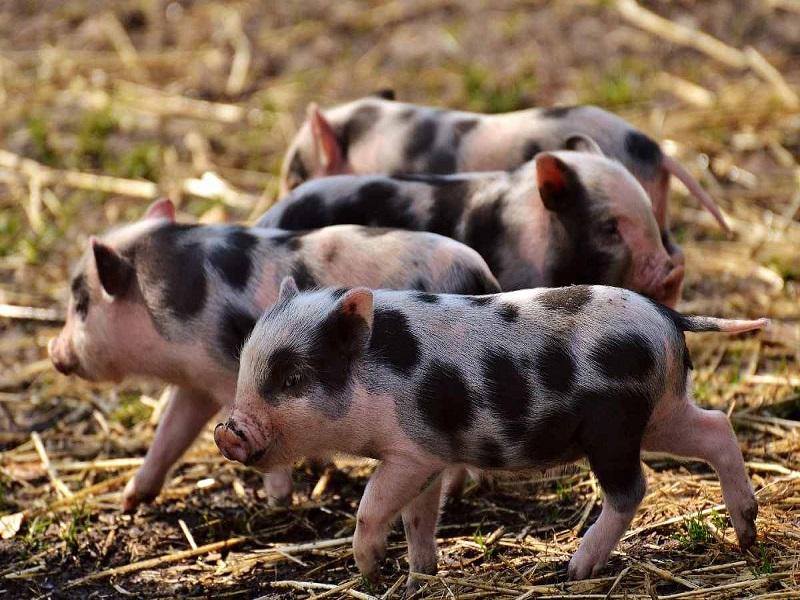 Pig farming details (image credit- Google)