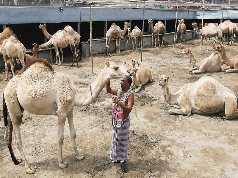 Camel Farming (image credit- Google)