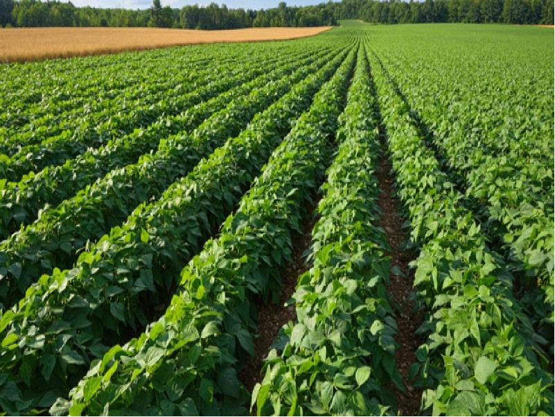 Potato Field (Image Credit - Google)