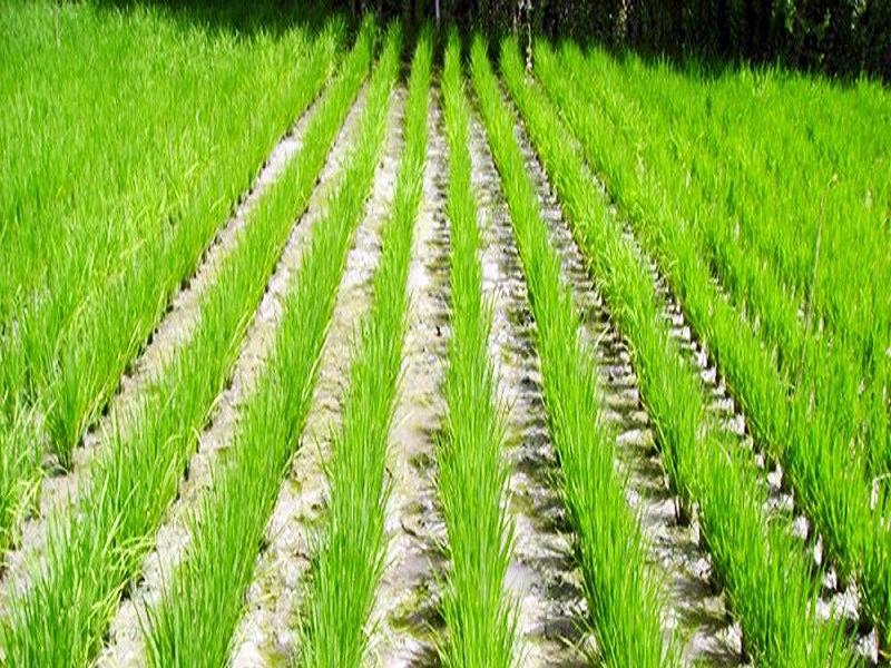 Paddy field (Image Credit - Google)