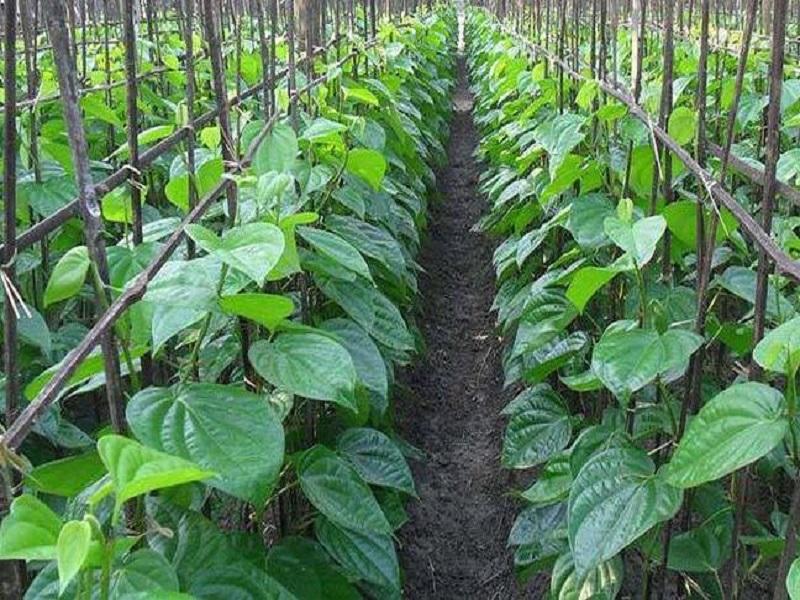 Betel leaf (image credit- Google)