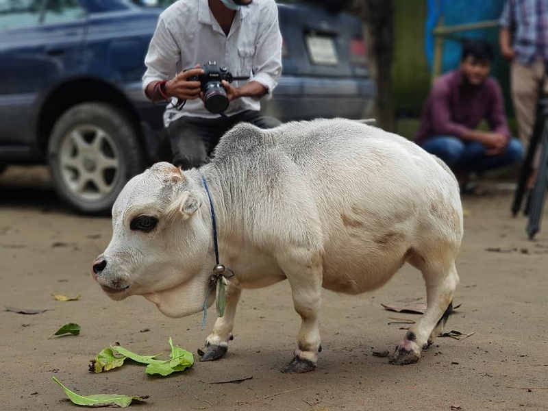World's smallest cow (image credit- Google)