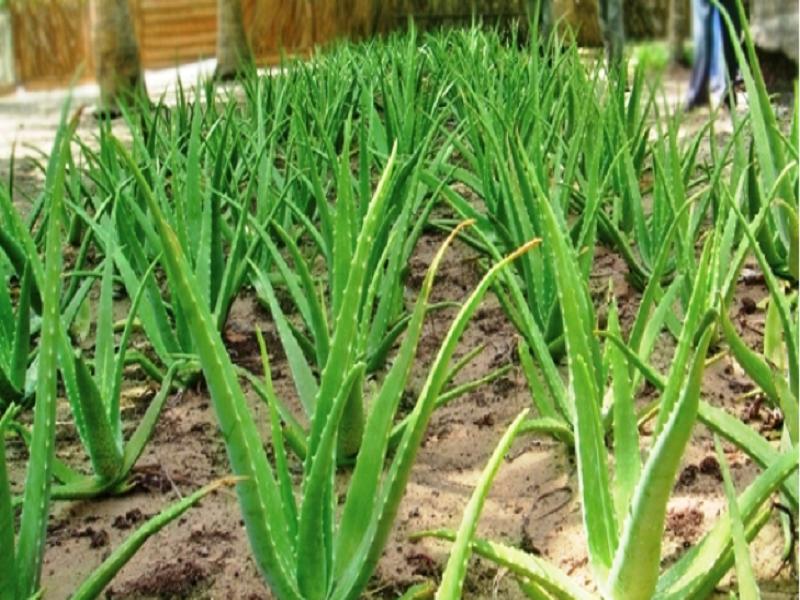 Aloe Vera (Image Credit - Google)
