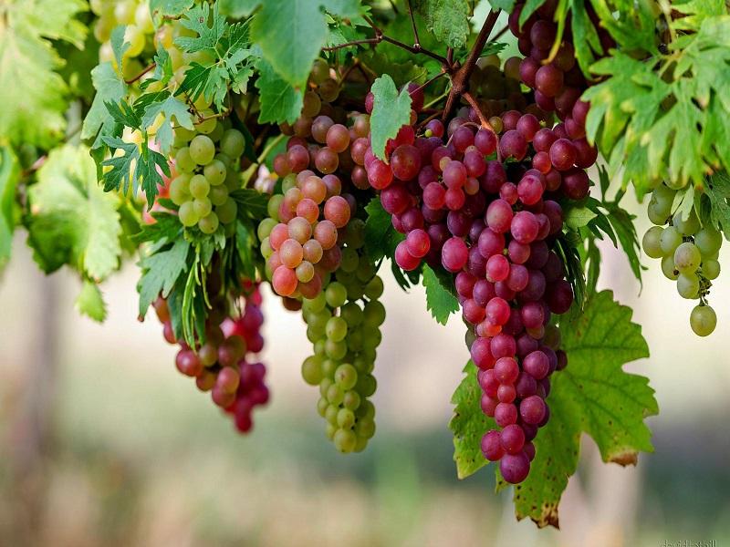 Ruby Roman Grapes (image credit- Google)