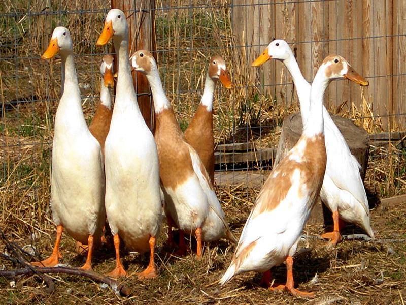 Duck Farm (Image Credit - Google)