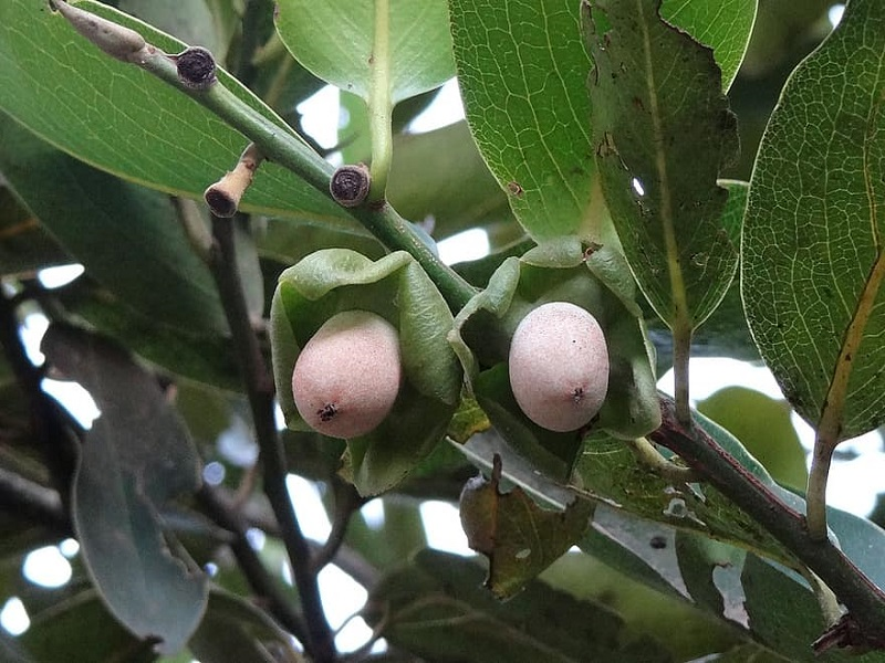 Kendu Tree (Image Credit - Google)