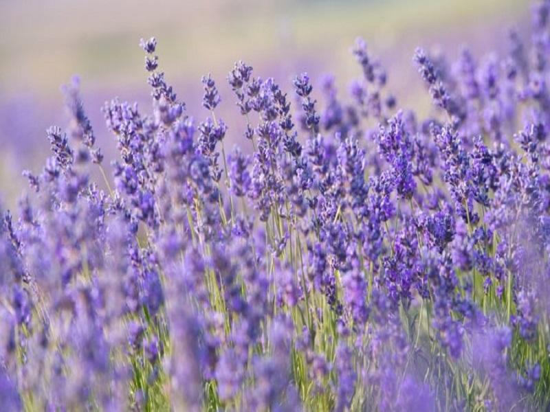 Lavender Farming: ল্যাভেন্ডার চাষে ব্যাপক সাফল্য কাশ্মীরের কৃষকদের