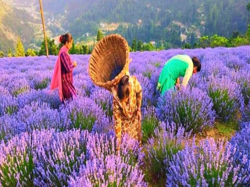 Lavender farming (image credit- Google)
