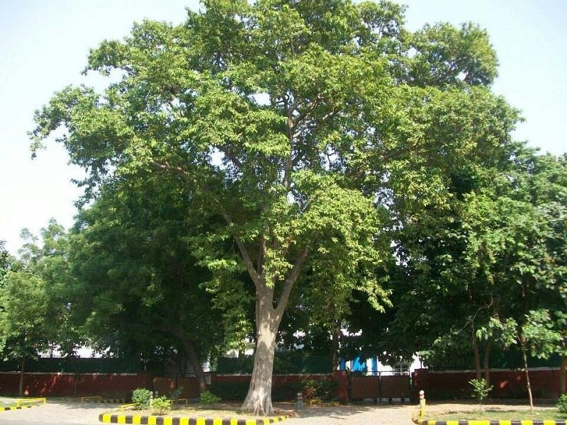Arjuna tree (image credit- Google)