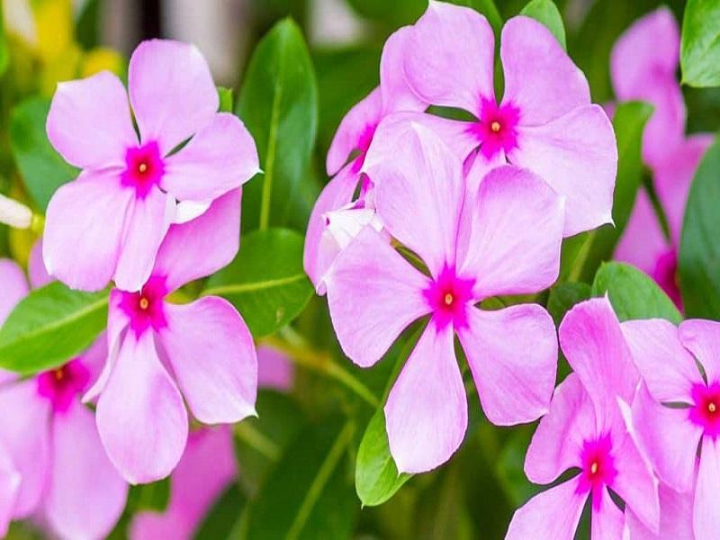 Periwinkle flower (image credit- Google)