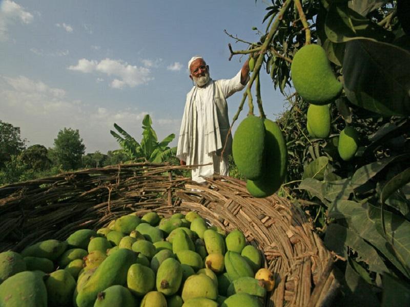 India's mango man (image credit- Google)