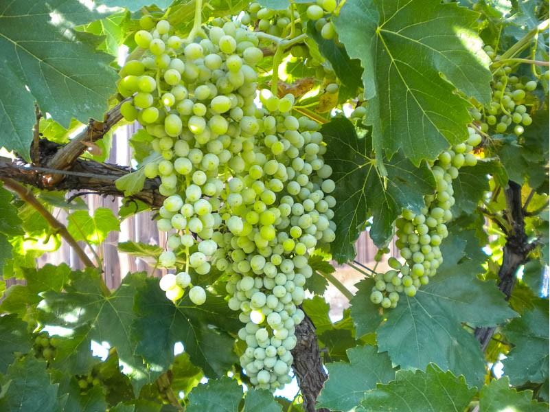 Grapes Tree (Image Credit - Google)