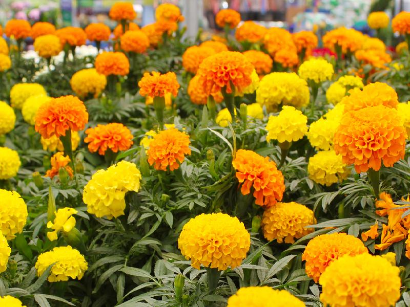 Marigold Flower (Image Credit - Google)