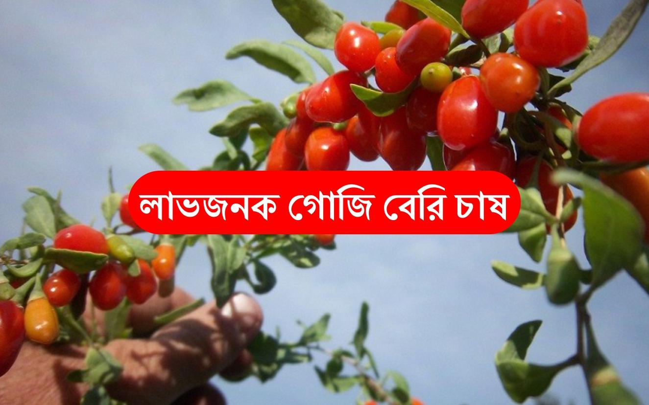 Goji Berry Farming: কিভাবে চাষ করবেন গোজি বেরি? শিখে নিন কৌশল