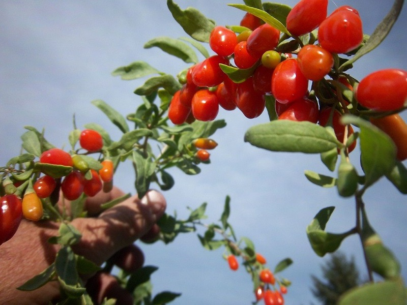 Goji berry tree (image credit- Google)